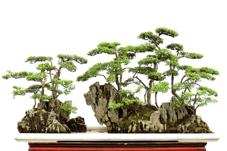 Bonsai forest on top of the rocks.