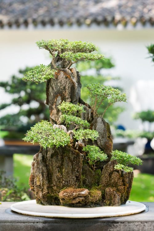 Bonsai trees on a rock in BaiHuaTan public park, Chengdu, China