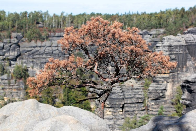 bonsai. pine on rock. Pravcicka brana, rock monument. Bohemian Switzerland, Hrensko, Czech Republic.