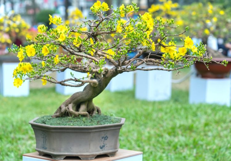 Fully bloom flowering apricot bonsai palnted in a beautiful ceramic pot.