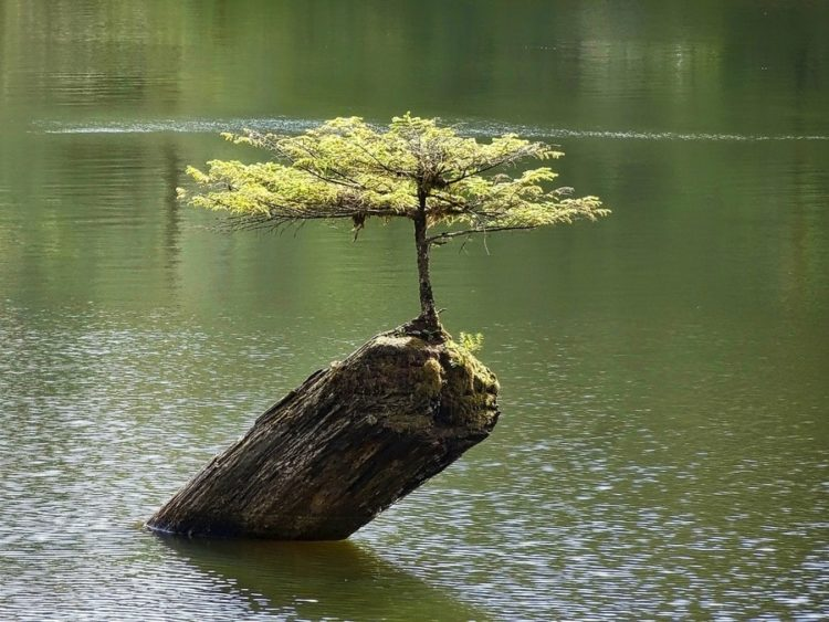 Bonsai tree standing proudly on rock while surrounded by water.