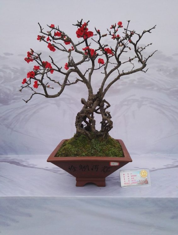Bonsai trunks with red flowers display.