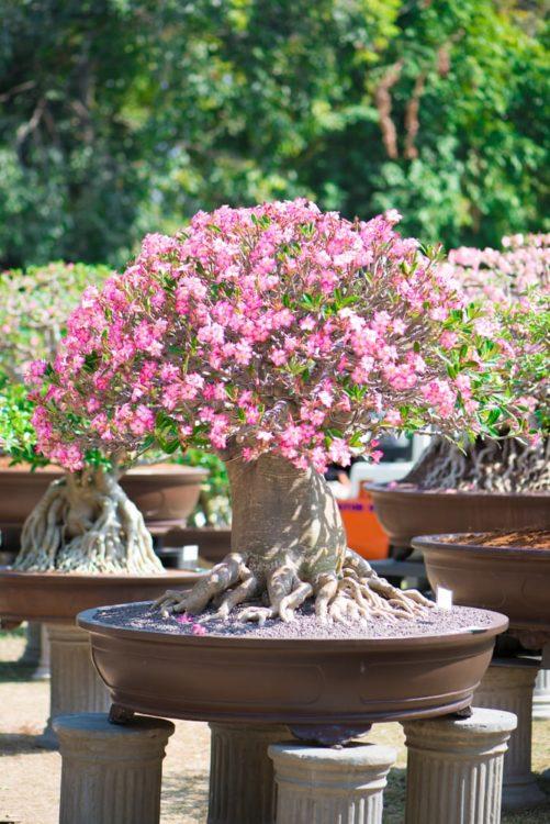 Bonsai style of Adenium tree or desert rose in flower pot