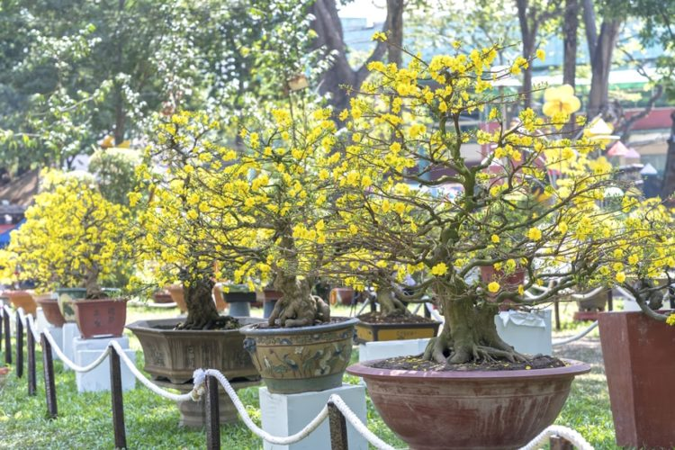"Yellow bonsai trees with branches that generously spread their ""wings"" and blooming yellow flowers."