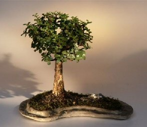 Shaped like lollipop bonsai on a rock.