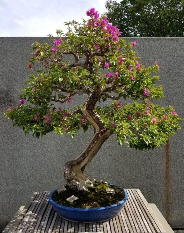 Bougainvillea flowering bonsai with a beautiful zigzag trunks.