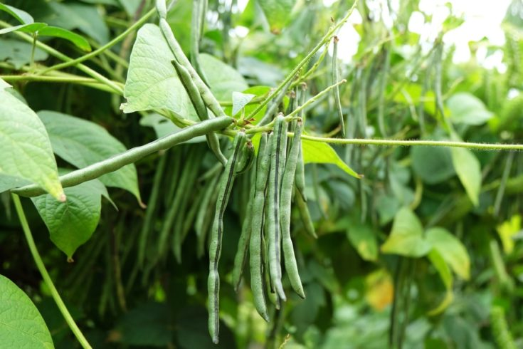 Pea Pod String Beans Tree Vegetable Garden