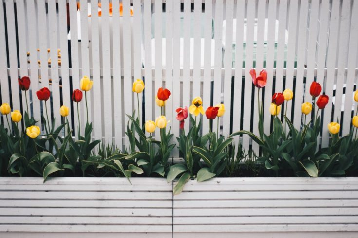 Yellow And Red Tulip Flower Plant Beside White Fence