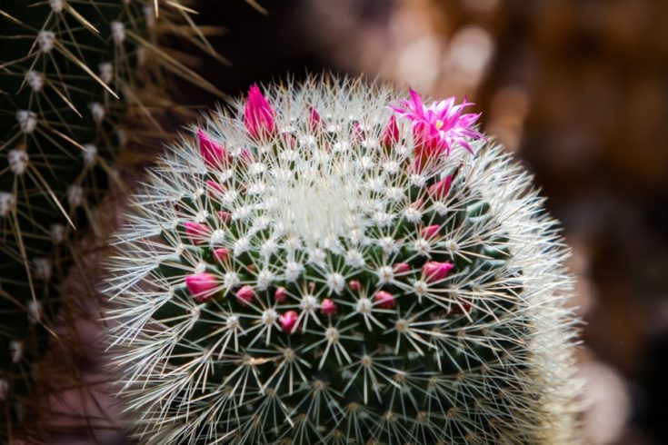Detail of the spiny pincushion cactus (Mammillaria spinosissima)