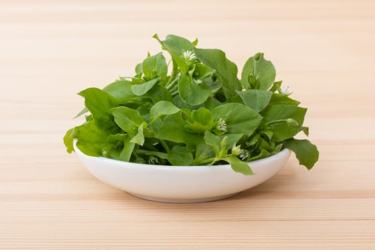 Fresh, green chickweed