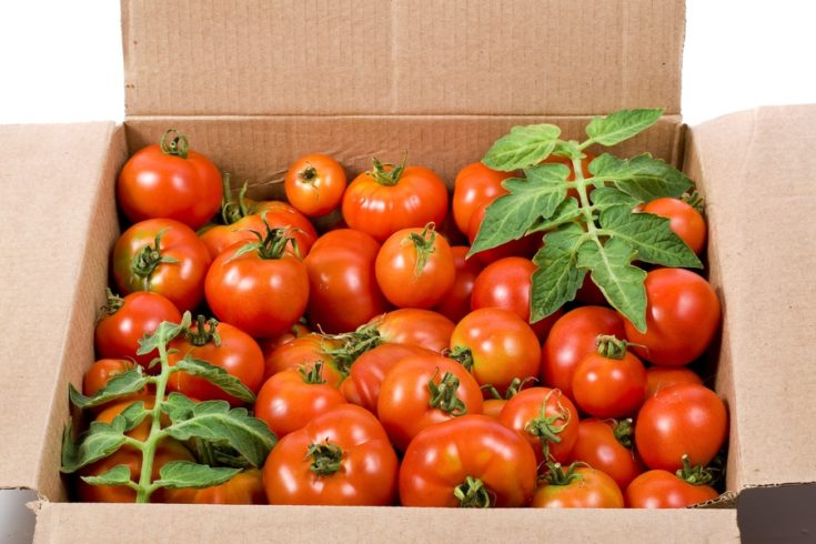 Fresh tomatoes inside the cardboard