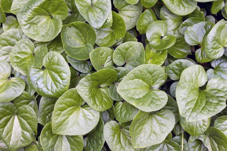Western Wild Ginger Groundcover Native Evergreen Plant in Oregon Background