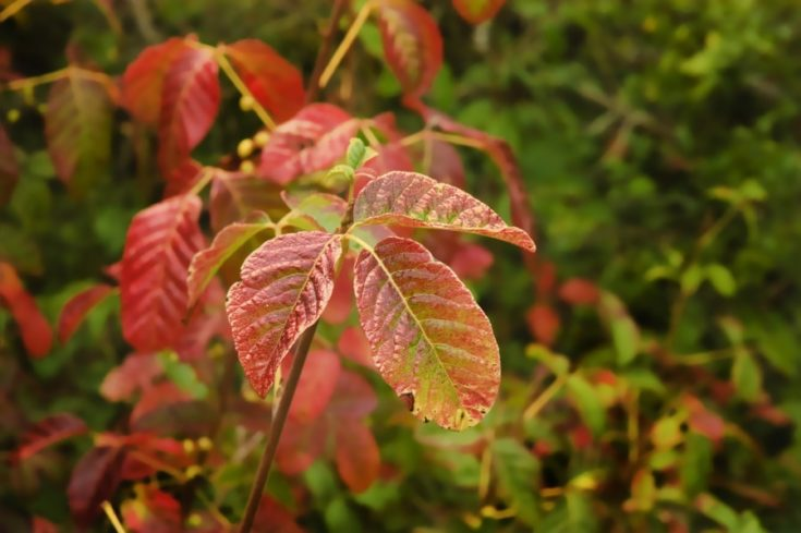 poison Oak in the late summer after it has turned color from green to the red phase