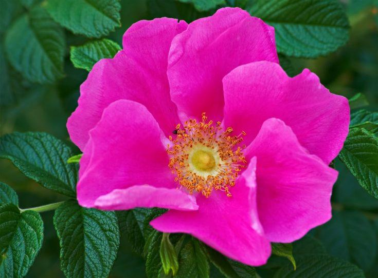 wild rose flower during the summer bloom.