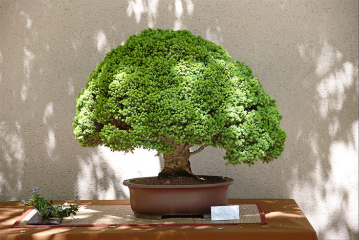 A full grown bonsai tree in the shade