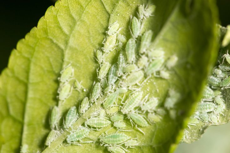 aphids on a green leaf.