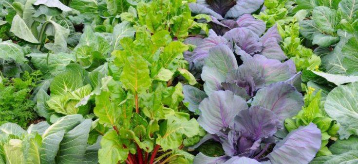 A garden of green leafy vegetables.