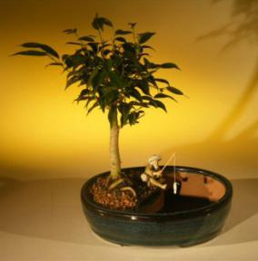 Ficus Oriental Bonsai Tree - Water Bonsai Pot