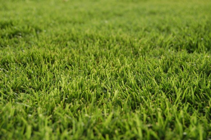 Fine field green bermuda grass