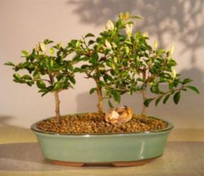 Flowering Lavender Star Flower Bonsai 3 Tree Forest Group