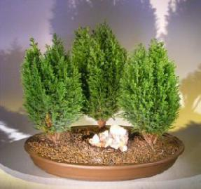 Italian Cypress Evergreen Bonsai Tree