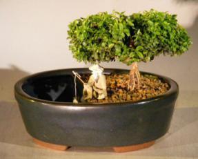 Japanese Kingsville Boxwood Bonsai Tree