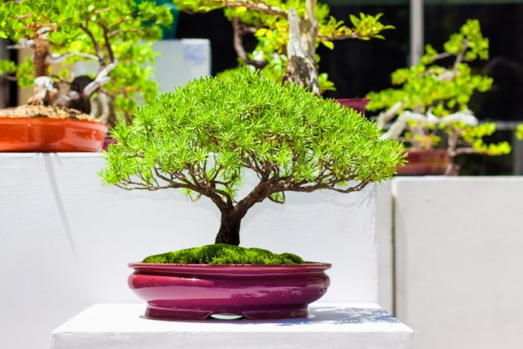 Exhibition of japanese bonsai trees