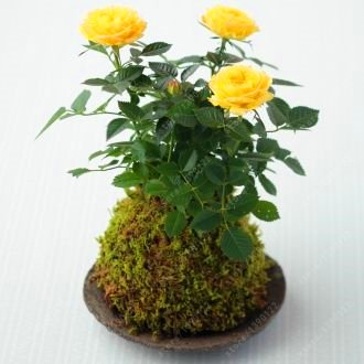 Miniature rose seeds, A little cute plants for miniature garden plant