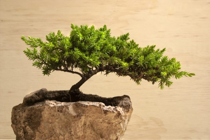 Photograph of a traditional japanese bonsai tree