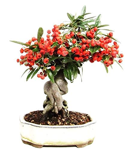 Pyracantha Coccinea Rare Scarlet FIRETHORN Bonsai Berry ECC