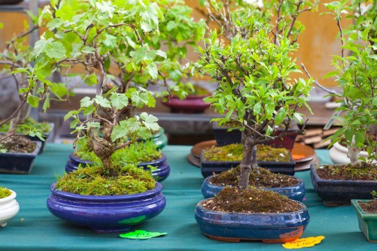 View of Bonsai trees in the street market