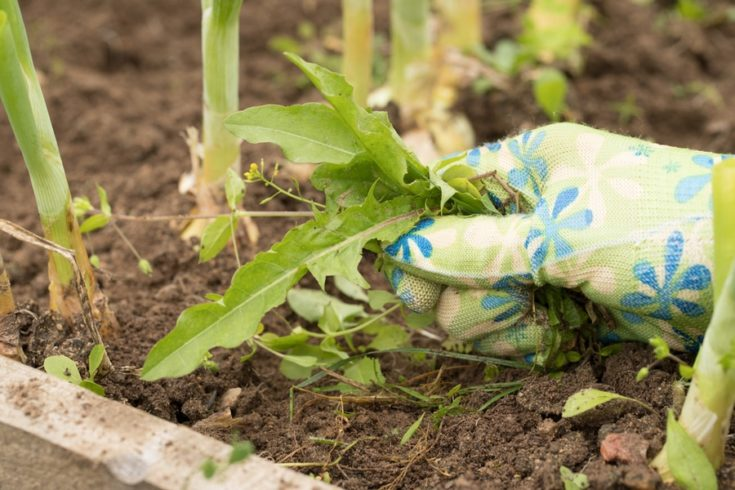 Hand Of Female Gardening Weeding Weed Plants Grass In Vegetable Beds Of Onion Close Up. Control Of Weeds.