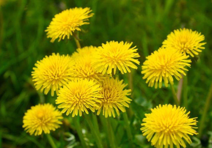 Yellow dandelions (taraxacum officinale) in green grass. Close up