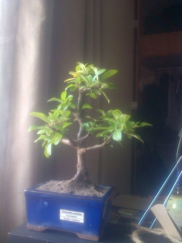 a bonsai tree starting to grow planted in blue pot