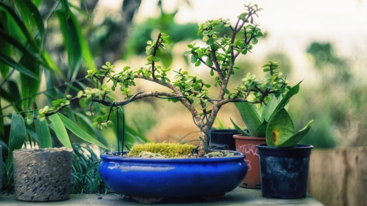 a bonsai tree with simple branches in blue pot