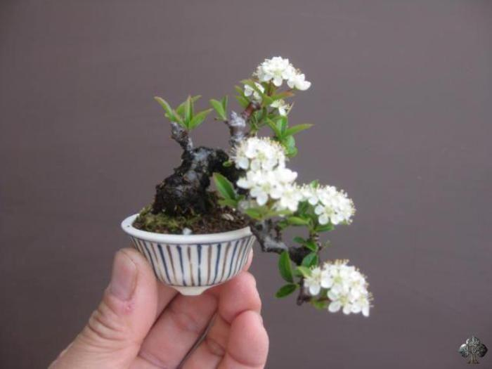 a minuscule bonsai supports multiple clusters of branching blooms