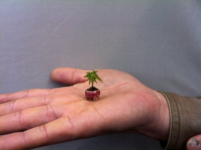 a tiny bonsai in the palm