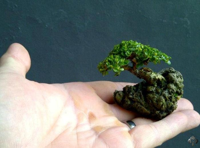 a very small bonsai plan in the hand