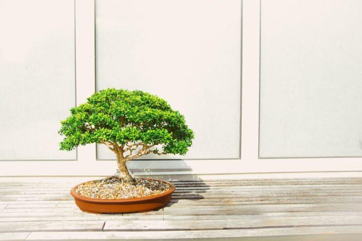 an outdoor bonsai providing a little shade