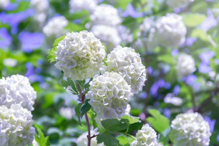 Blooming beautiful white flowers in the summer garden. Viburnum flowering bush on a bright sunny day.
