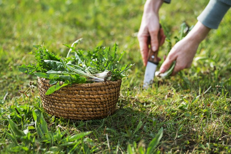 Dandelion. Picking fresh dandelion leaves with knife. Dandelion in hands of a farmer