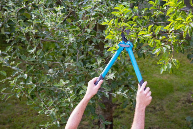 A man with garden pruners trims a tree at sunny day.