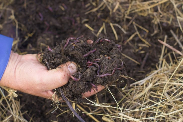 The Worms and Humus in Man's Hand. The Flock of Dendrobena Worms above Compost with Manure and Fertilizer.