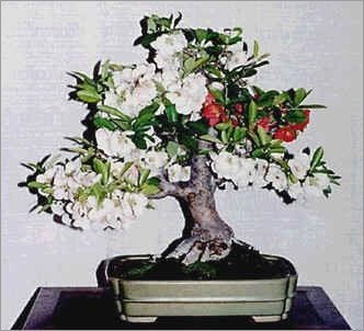 15 Seeds Chaenomeles Japonica Seeds (Flowering Quince) Bonsai in white background