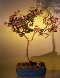 Bonsai Boy's Flowering Chinese Fringe Bonsai Tree loropetalum chinensis in light yellow background