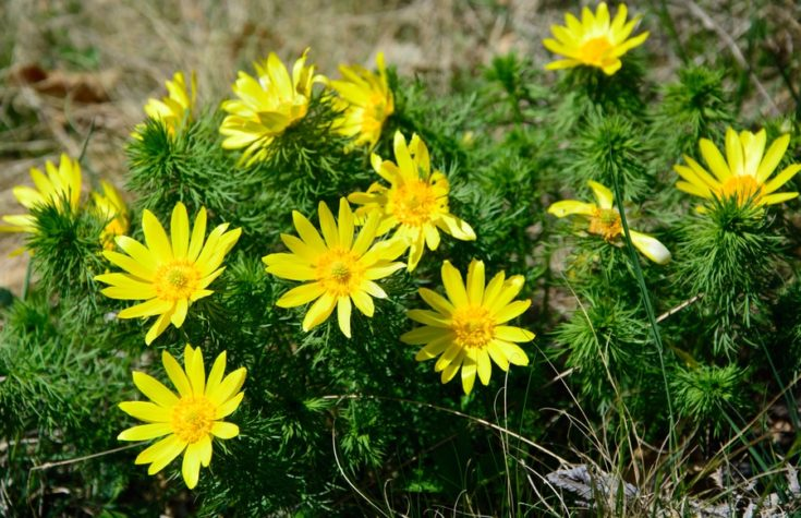 Adonis vernalis - beauty yellow spring flowers in Slovak Karst