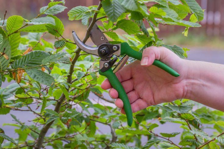 Pruning Garden Bush with a Green Pruner