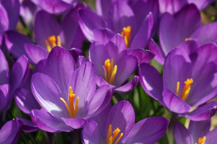 Purple Crocus flowers blooming in spring