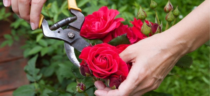 The Best Tips for Pruning Roses