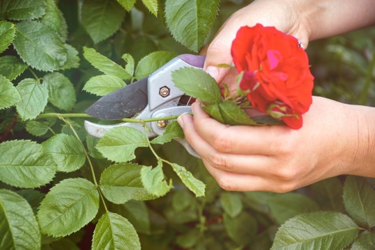 Woman hands with gardening shears cutting red rose of bush. Close-up.